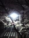 2006_sakura01